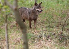 Espécies de animais ameaçados || Lobo ibérico ganha moeda comemorativa